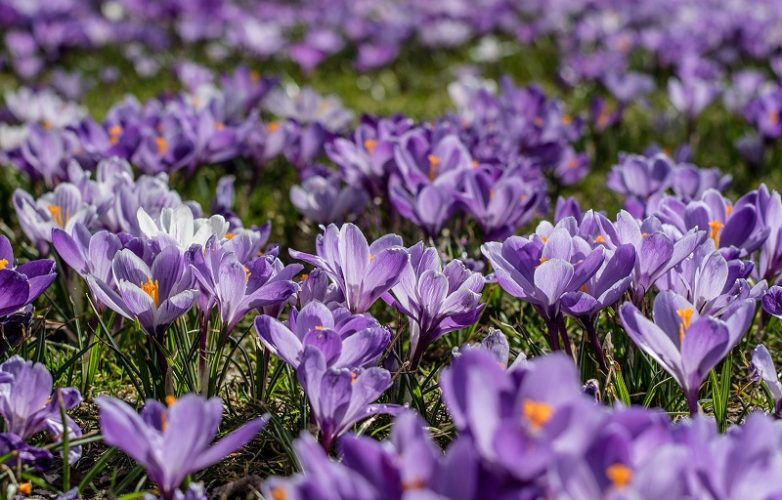purple_crocus_flowers-end_polio_now